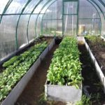 Выращивание редиски в теплице из поликарбоната