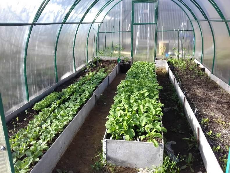 Выращивание редиски в теплице весной до посадки основных тепличных культур