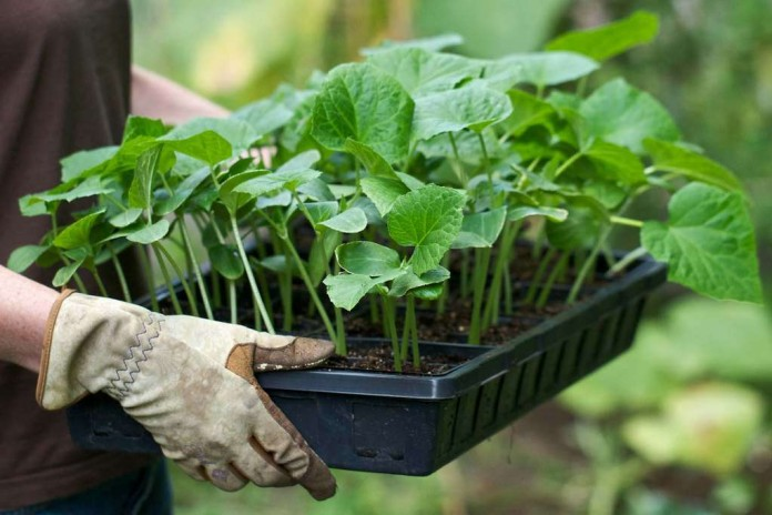 Выращивание цуккини рассадным способом - преимущества метода