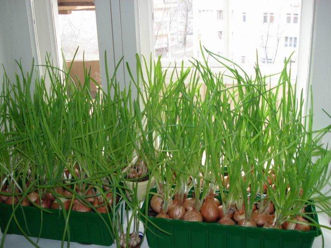 Выращивание зеленого лука на подоконнике в контейнере с землей