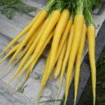 Желтая морковь - разновидности и описание