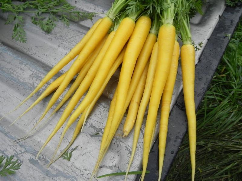Желтая морковь сорта Мирзои 304 описание овоща
