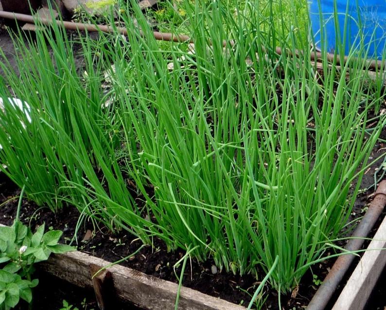 Зеленый лук-батун выращивание на перо из семян в домашних условиях