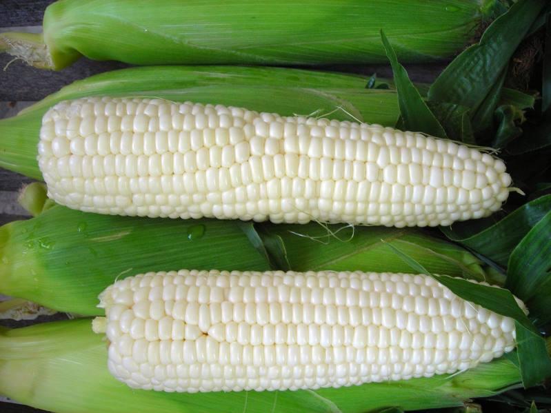 Белые гибридные сорта кукурузы