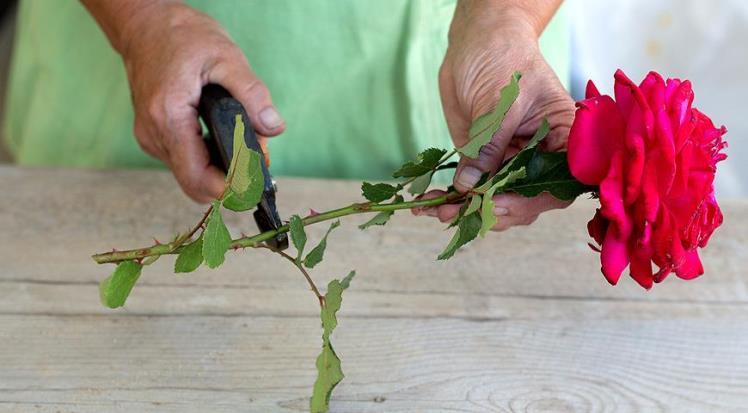 Черенкование розы - как укоренить черенок из букета