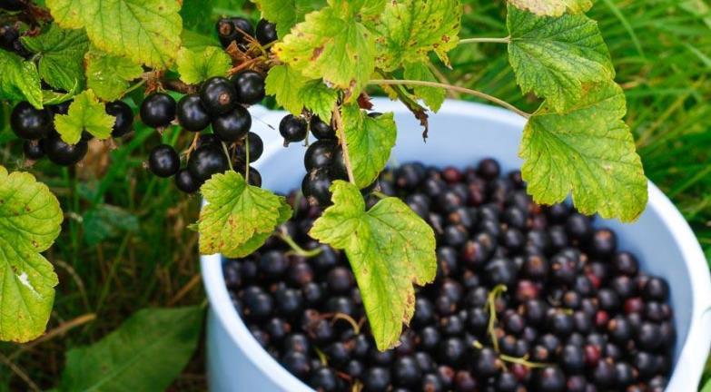 Химический состав - микроэлементы и витамины в черной смородине