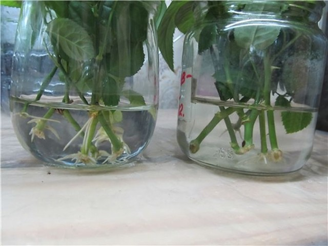 Использование стимуляторов роста при выращивании розы из черенка