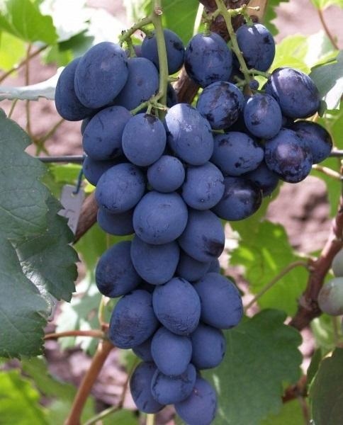 История создания гибридного сорта винограда Сфинкс
