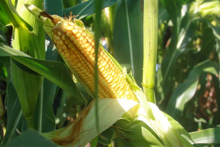 Как обеспечить высокий урожай кукурузы на даче - простые правила