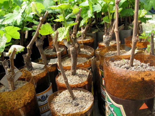 Как пересадить чубук винограда для доращивания