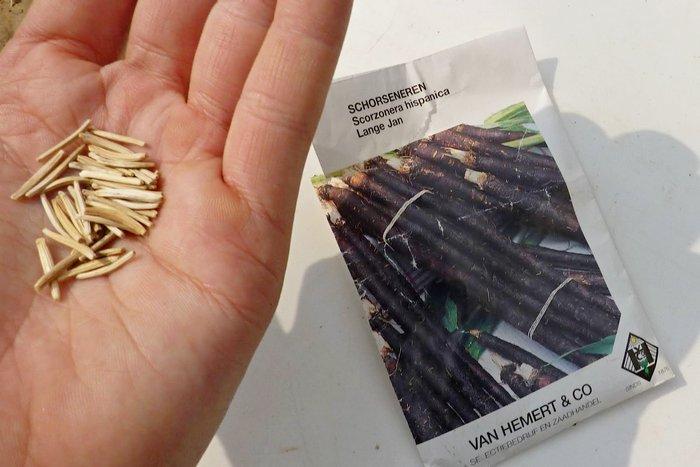 Как подготовить семена скорцонеры к посадке в почву