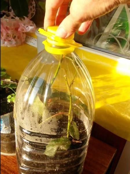 Как посадить черенки роз из букета в домашних условиях