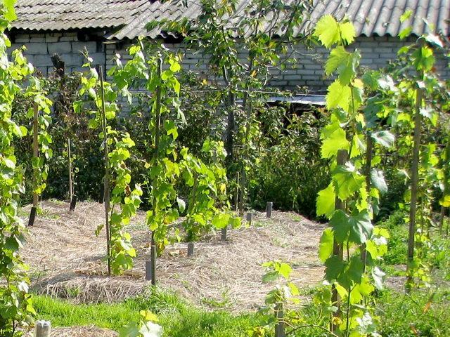 Как размножить виноград - какой способ выбрать