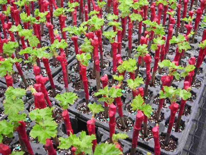 Как размножить виноград - самый недорогой способ быстрого разведения культуры