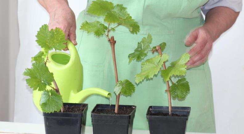 Как размножить виноград - укоренение черенков винограда