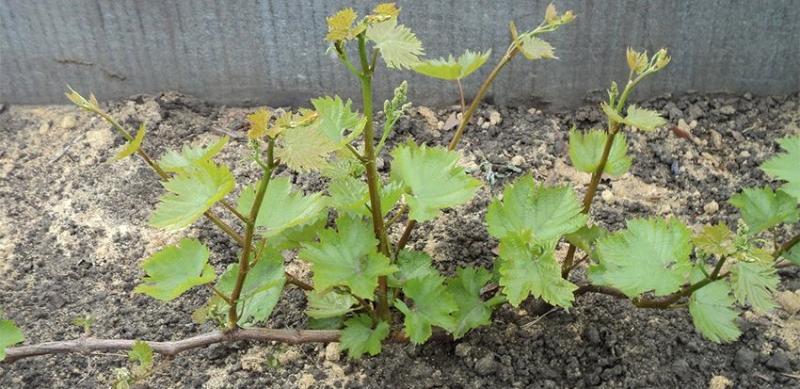 Как стимулировать развитие корневой системы для размножении винограда отводками