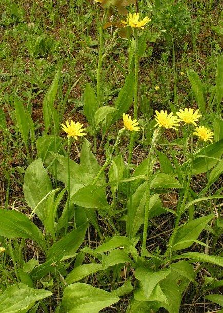 Как цветет скорцонера, можно ли самостоятельно получить семена для посадки