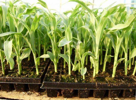 Как вырастить кукурузу рассадным способом - советы