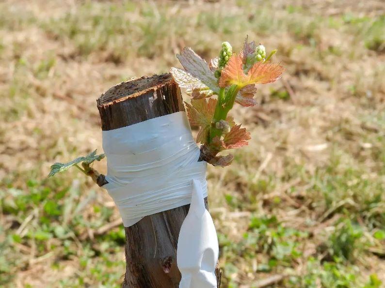 Как защитить виноград после прививки - особенности ухода за привитыми растениями