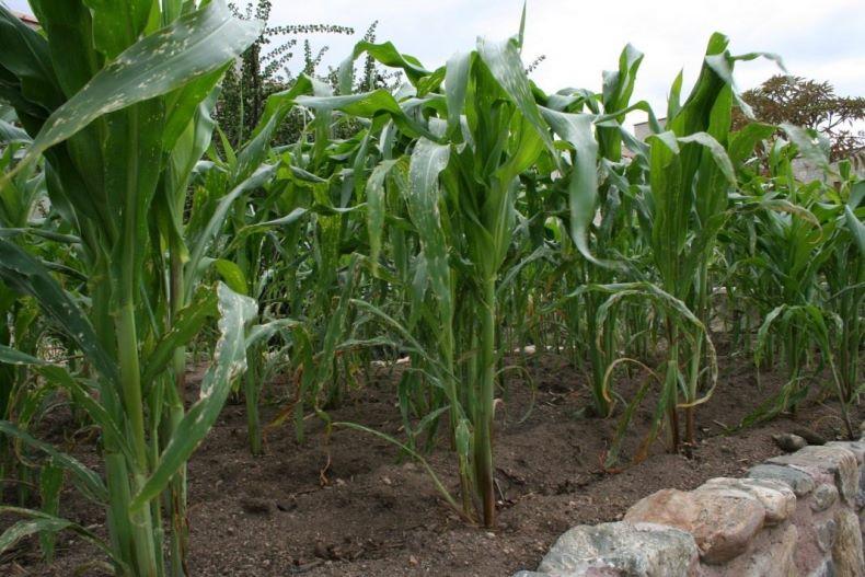 Какую схему посадки кукурузы выбрать для оптимального расположения на грядке