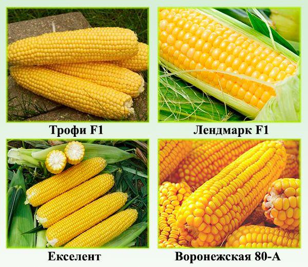 Лучшие сорта кукурузы - какому сорту отдать предпочтение