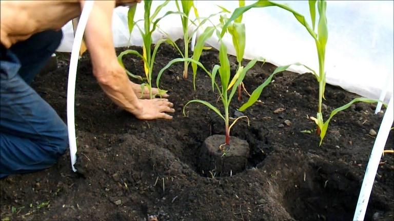 Можно ли получить урожай кукурузы в северных регионах - выращивание в теплице