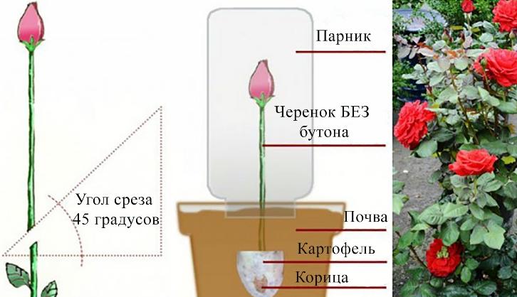 Можно ли вырастить розу из букета в картошке