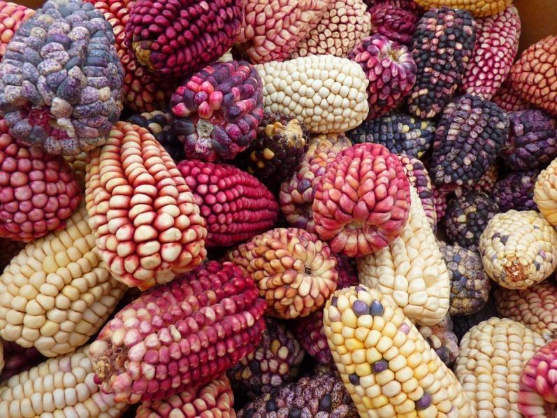 Необычные цветные сорта кукурузы