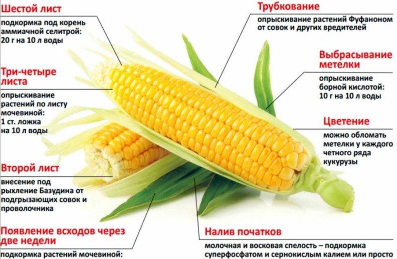 Основные правила подкормки и обработки кукурузы