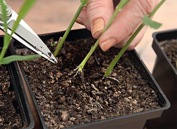 Пикировка рассады кукурузы для высадки на грядку