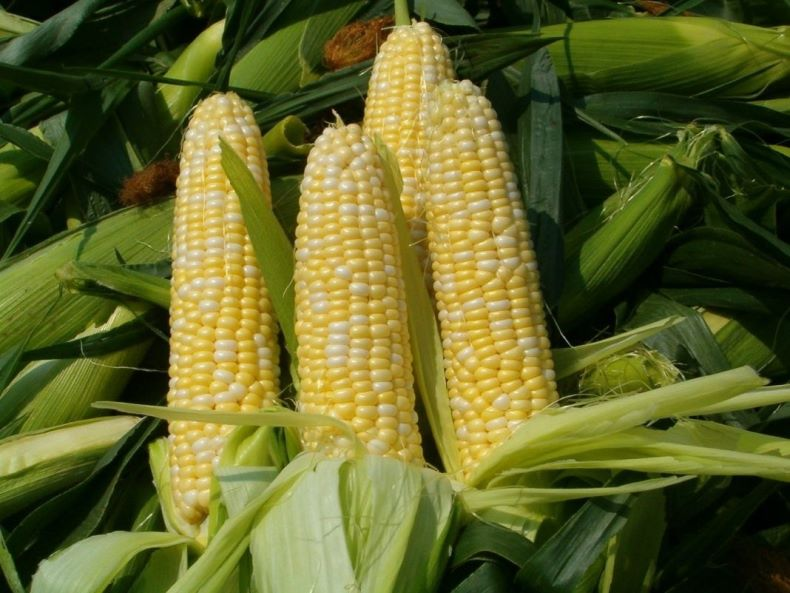 Сроки посадки кукурузы