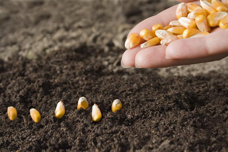 Посев зерен кукурузы непосредственно в открытый грунт