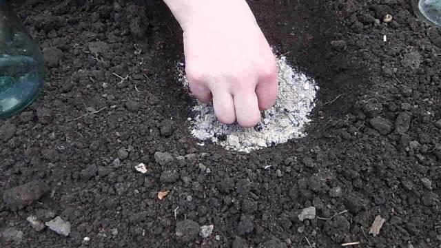 Правильный посев семян кабачка в открытый грунт