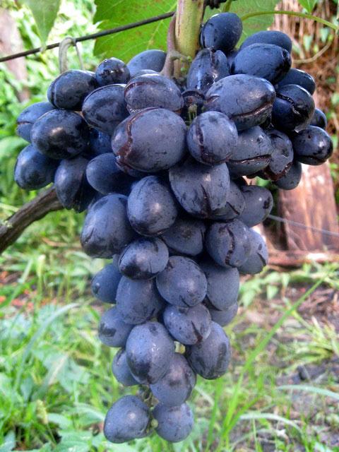 Проблема растрескивания ягод винограда Сфинкс