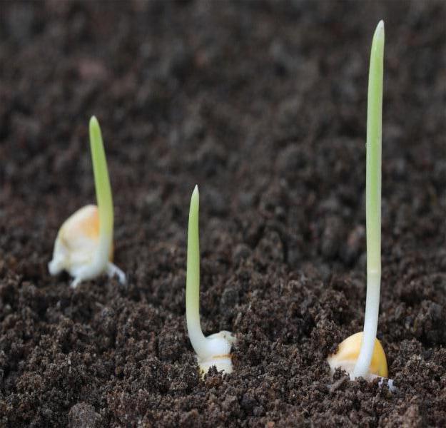 Проращивание семян кукурузы перед посадкой, заглубление проросших семян