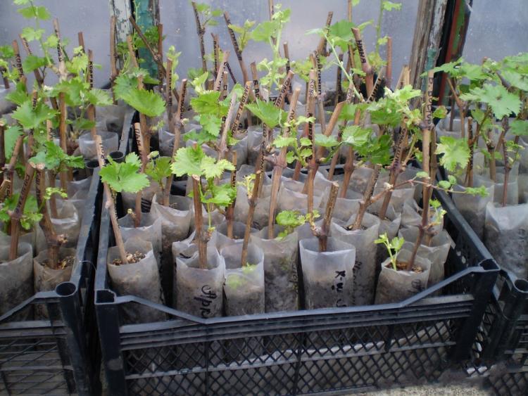 Размножение винограда - выращивание виноградного куста из чубуков