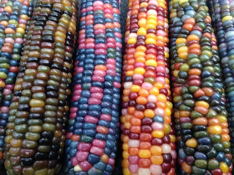 Разнообразие сортов кукурузы - сахарные, кормовые, гибриды