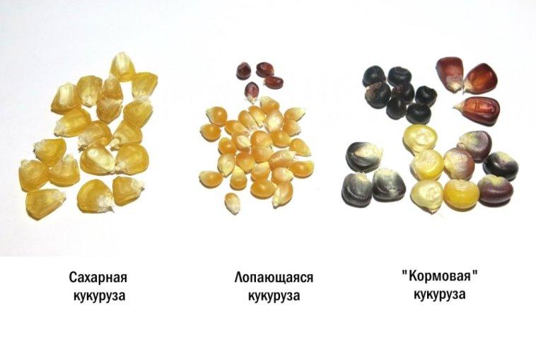 Разновидности кукурузы для выращивания в открытом грунте - сферы применения