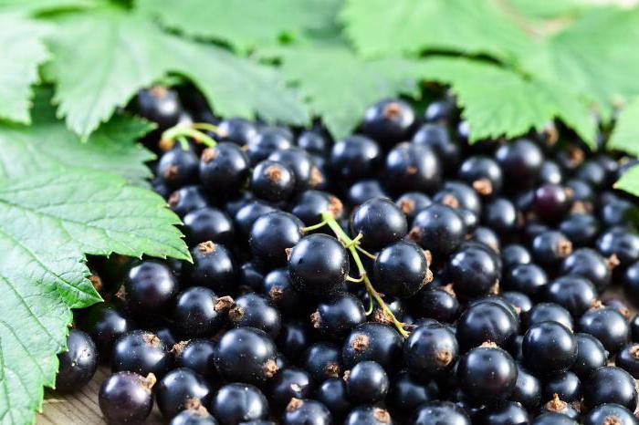 Сколько можно в день съедать свежих ягод черной смородины