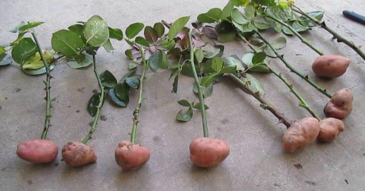 Способы укоренения розы - как прорастить черенок розы в картошке