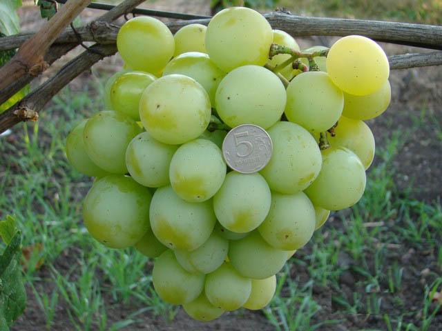 Строение грозди винограда Талисман, особенности плодов