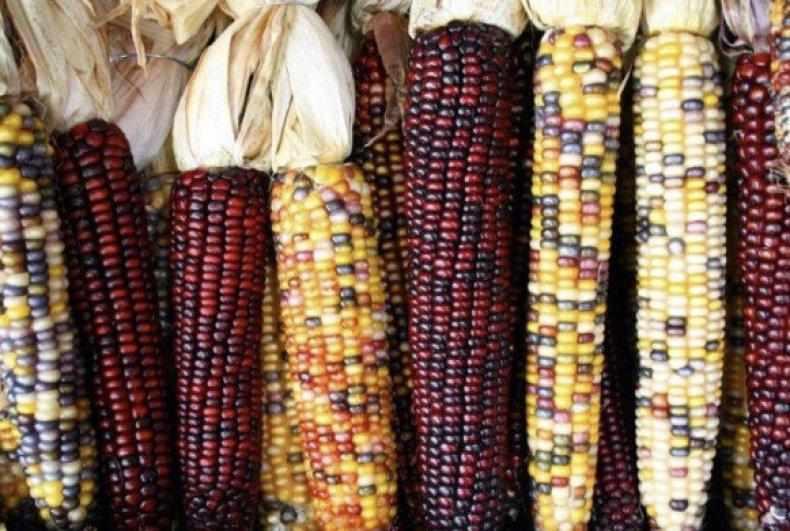 Универсальная кремнистая кукуруза - для употребления в пищу, корм для животных, изготовление кукурузных хлопьев