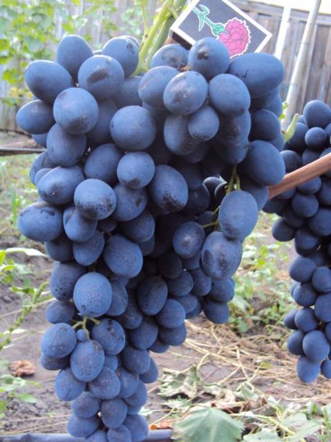Виноград Сфинкс – особенности гроздей и плодов культуры