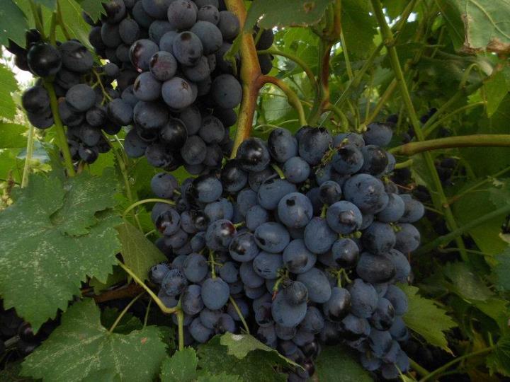 Виноград Сфинкс – устойчивый ранний сорт