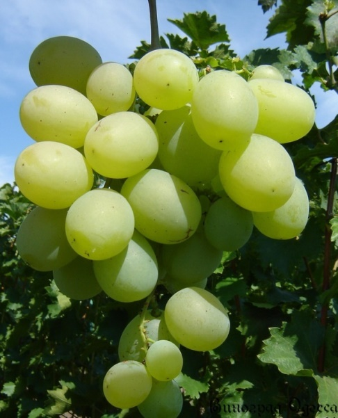 Виноград Талисман - белый крупноплодный виноград