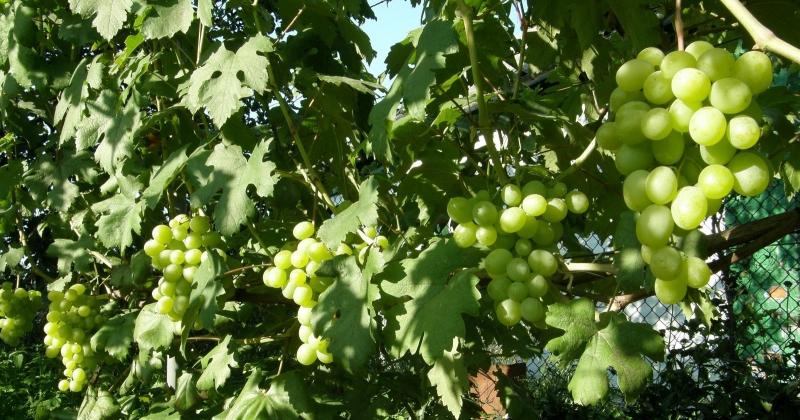 Виноград Талисман - какие регионы подходят для выращивания сорта