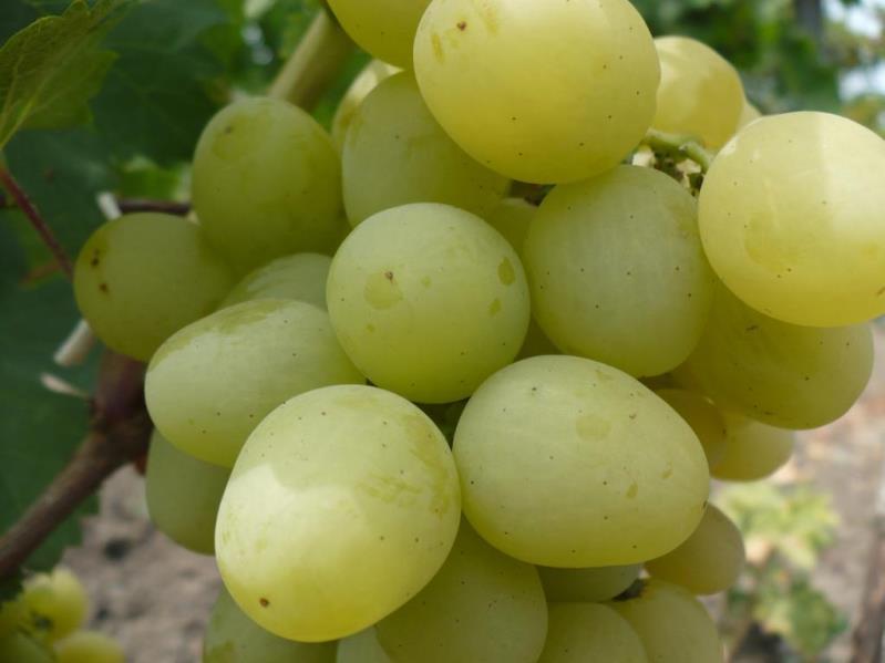 Виноград Талисман - особенности выращивания, обрезка, обработка от вредителей