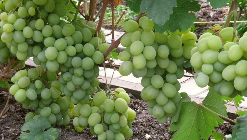 Виноград Талисман - техника выращивания и ухода за лозой