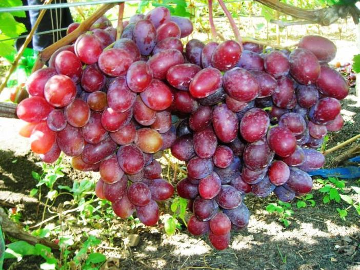 Виноград граф Монте Кристо - как получить хороший урожай ягод