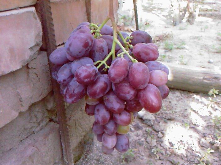 Виноград граф Монте Кристо - как сохранить урожай